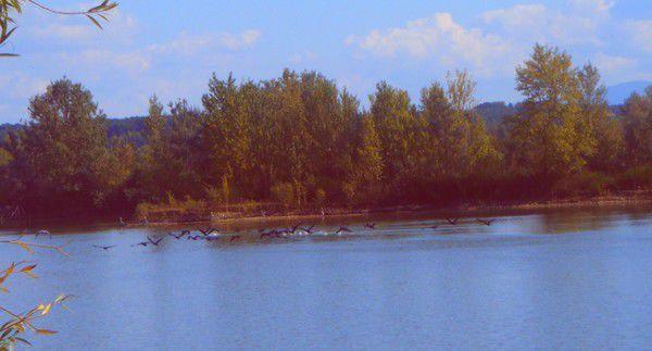 Envol de cormorans